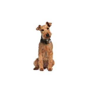airedale terrier puppies breed info petland orlando east