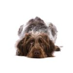 Petland Orlando East German Wirehaired Pointer