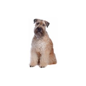 soft-coated-wheaten-terrier