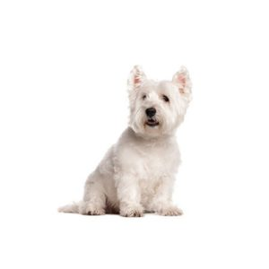 West Highland Terrier Puppies Breed Info Petland Orlando East