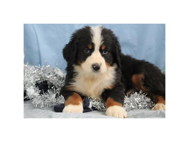 Bernese Mountain Dog-Male-Tri-2613776-Petland Orlando East