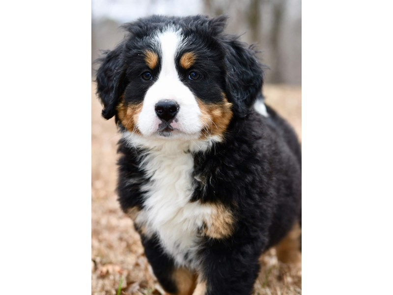 Bernese Mountain Dog-Female-Tri-2613750-Petland Orlando East