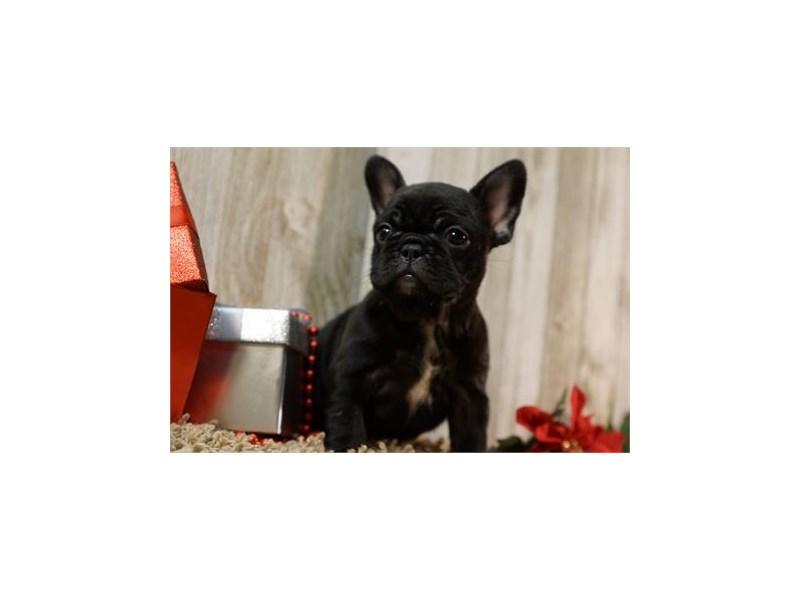 French Bulldog-Female-Black Brindle-2627496-Petland Orlando East