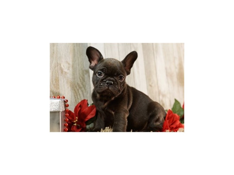 French Bulldog-Male-Black Brindle-2634924-Petland Orlando East