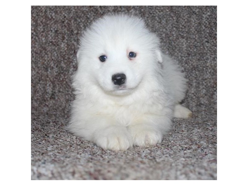 Samoyed-Male-White-2635002-Petland Orlando East