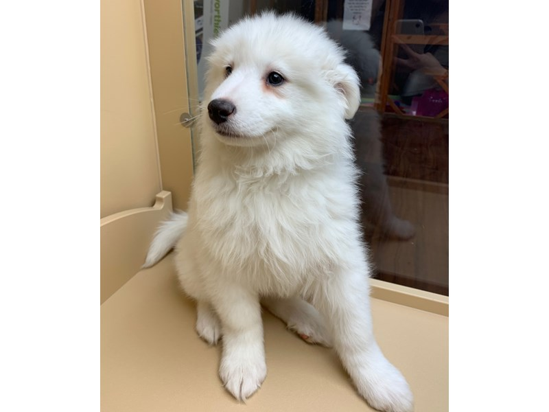 Samoyed-Female-White-2635014-Petland Orlando East