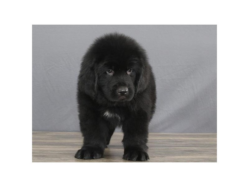 Newfoundland-Male-Black-2642565-Petland Orlando East