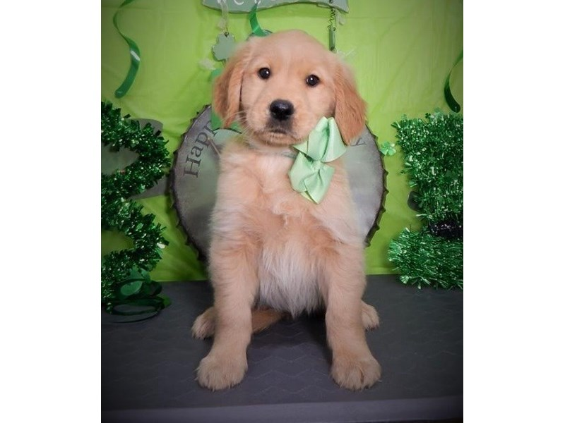 Golden Retriever-Female--2649810-Petland Orlando East