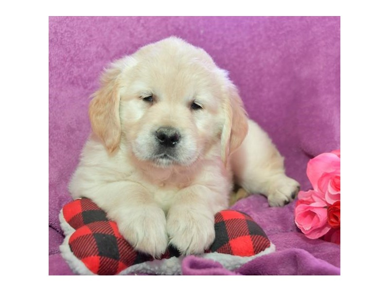 Golden Retriever-Male-Cream-2650013-Petland Orlando East