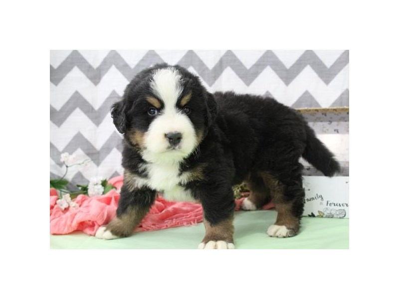 Bernese Mountain Dog-Male-Tri-2650076-Petland Orlando East