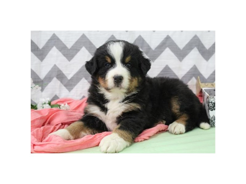 Bernese Mountain Dog-Female-Tri-2650077-Petland Orlando East