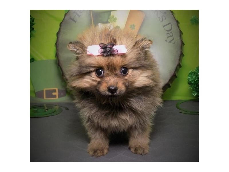 Pomeranian-Female-Orange Sable-2656471-Petland Orlando East