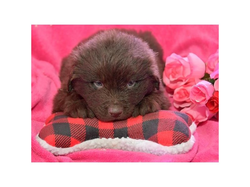 Newfoundland-Male-Chocolate-2656840-Petland Orlando East