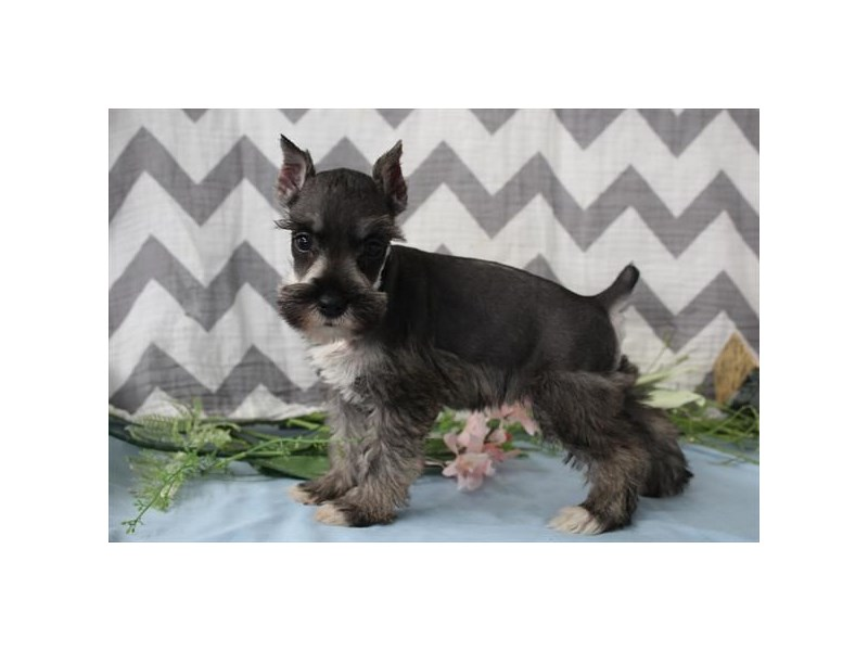 Miniature Schnauzer-Female-Salt&Pepper-2656864-Petland Orlando East