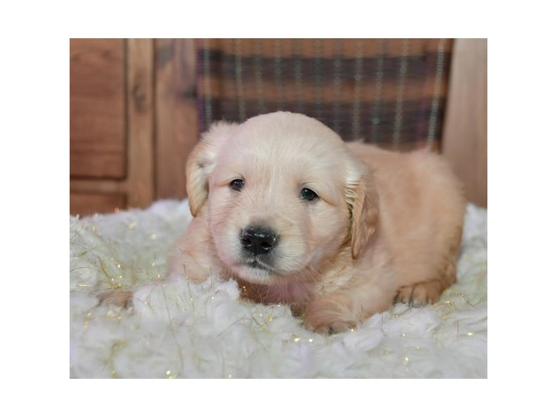Golden Retriever-Male-Light Golden-2663428-Petland Orlando East