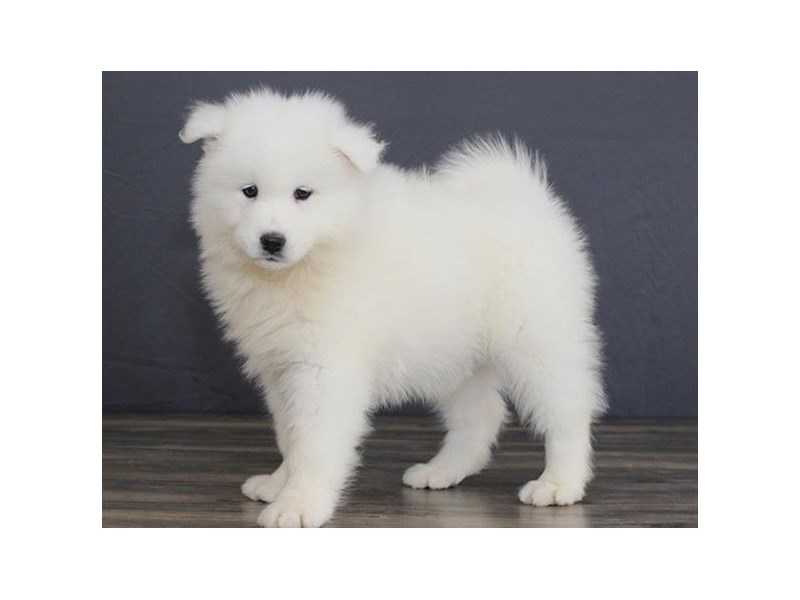 Samoyed-Female-White-2663551-Petland Orlando East