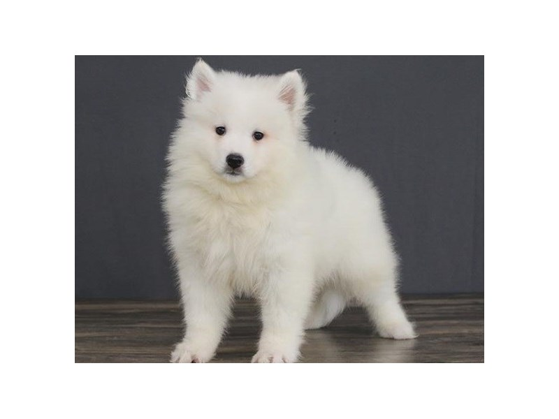 Samoyed-Male-White-2663554-Petland Orlando East