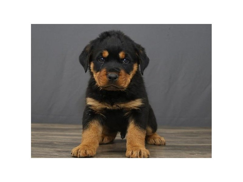 Rottweiler-Male-Black&Tan-2702393-Petland Orlando East