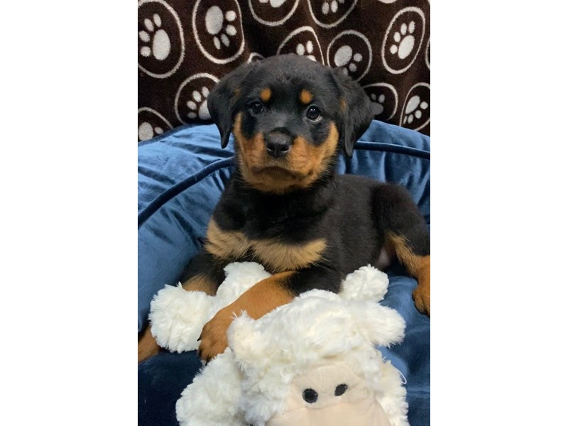 Rottweiler-Female-Black&Tan-2702512-Petland Orlando East