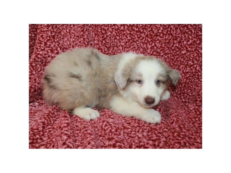 Australian Shepherd-Male-Red Merle-2709763-Petland Orlando East