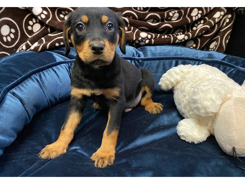 Rottweiler-Male-Black & Tan-2709776-Petland Orlando East