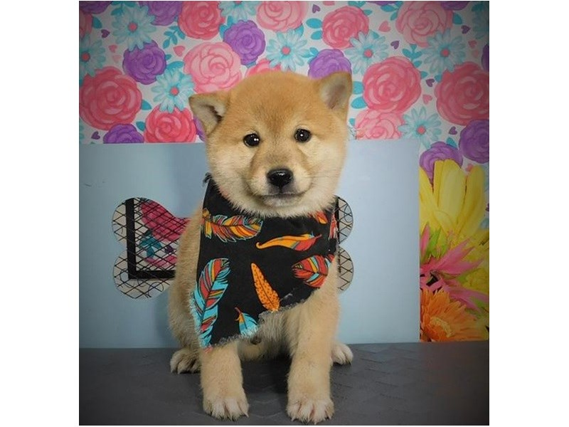 Shiba Inu-Male-Red / White-2721894-Petland Orlando East
