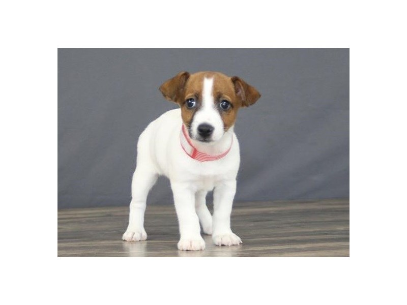 Jack Russell Terrier-Female-Brown / White-2722592-Petland Orlando East
