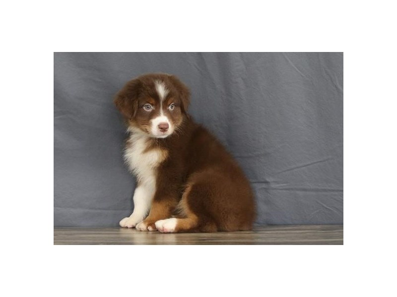 Australian Shepherd-Female-Red Tri-2730111-Petland Orlando East