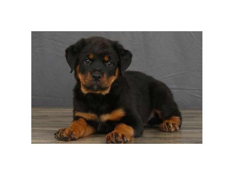 Rottweiler-Male-Black / Tan-2730116-Petland Orlando East