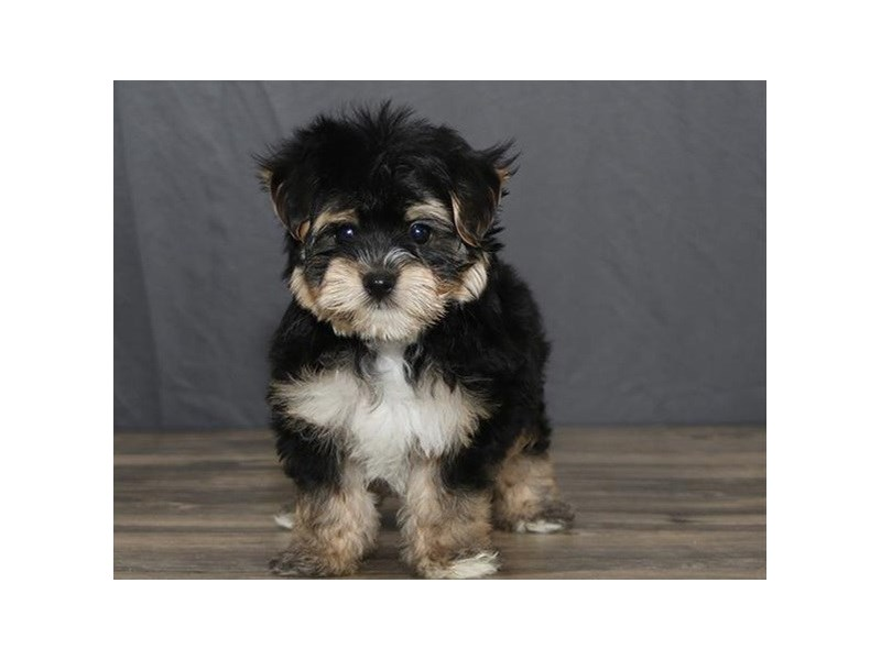 Morkie-Male-Black / Tan-2744489-Petland Orlando East
