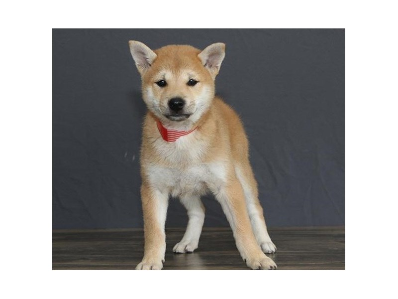 Shiba Inu-Female-Red / White-2751680-Petland Orlando East