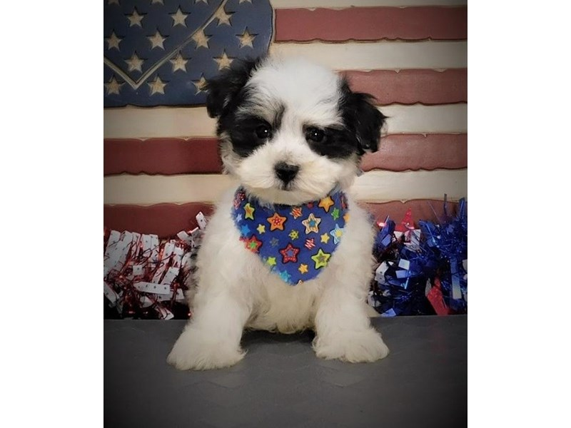 Morkie-Male-Black&Cream/Parti-2750768-Petland Orlando East
