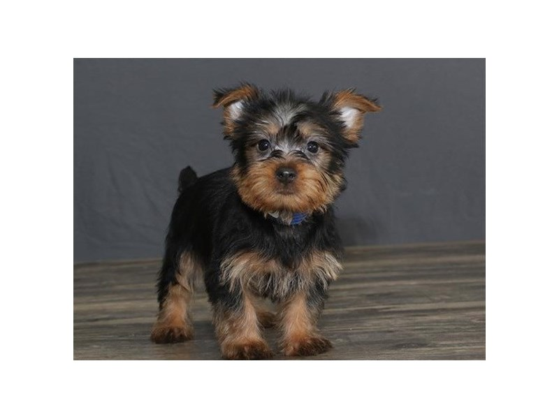 Silky Terrier-Male-Black / Tan-2751659-Petland Orlando East