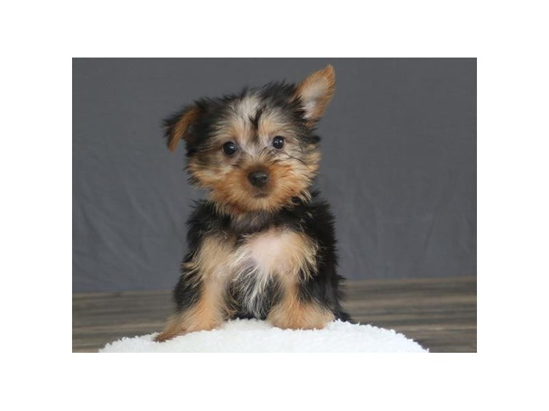 Silky Terrier-Female-Black / Tan-2751660-Petland Orlando East